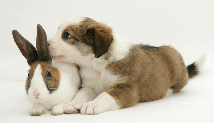 Border Collie Pup With Dutch Rabbit Photograph