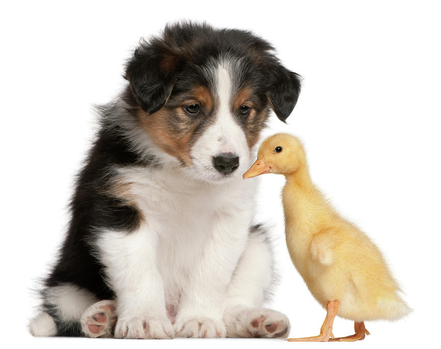 Border Collie Puppy And Domestic Duckling Photograph