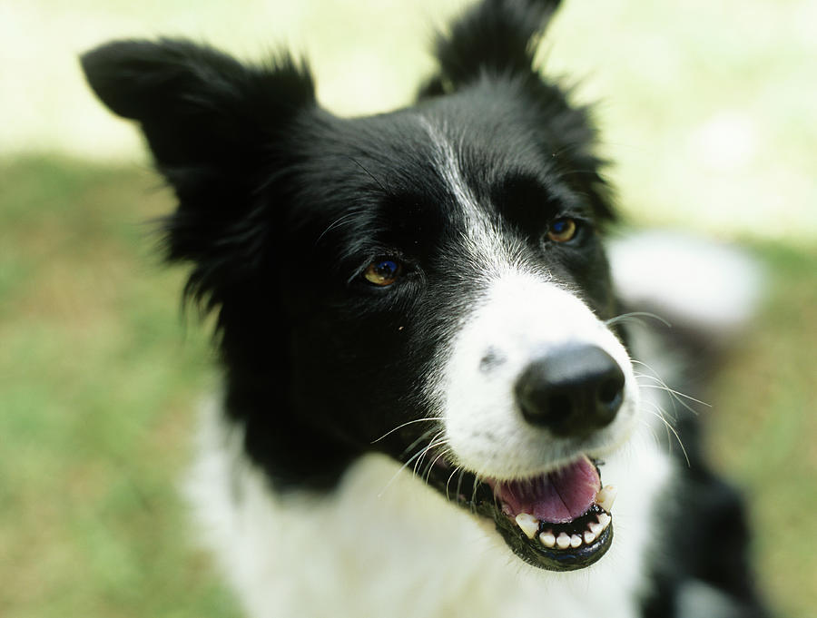 Border Collie Sitting On Grass,close-up Photograph