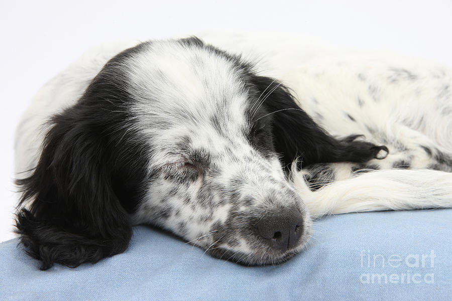 Border Collie X Cocker Sleeping Puppy Photograph