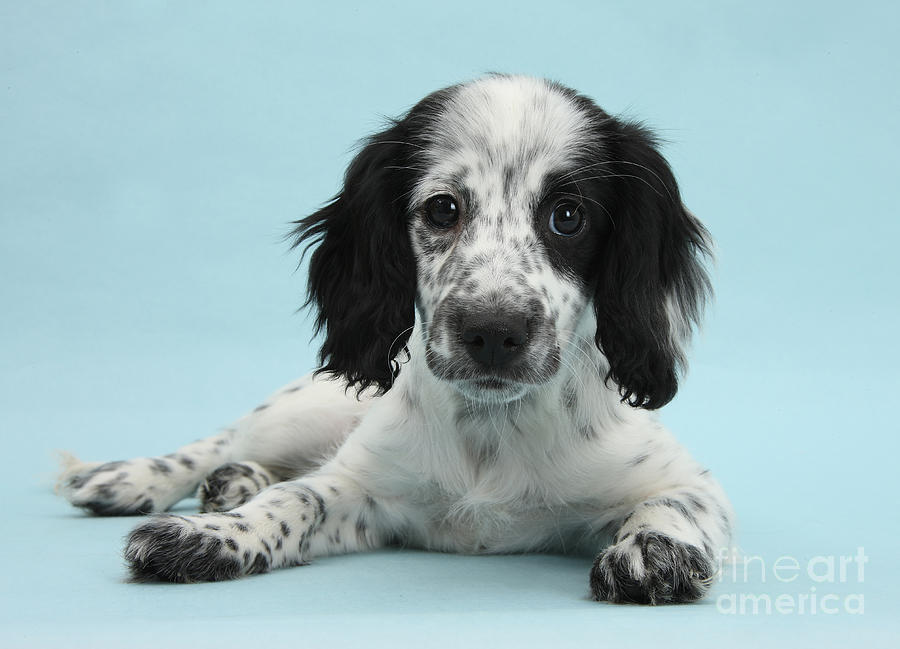 Border Collie X Cocker Spaniel Puppy Photograph