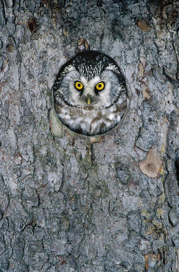 Boreal Owl Aegolius Funereus Peaking Photograph
