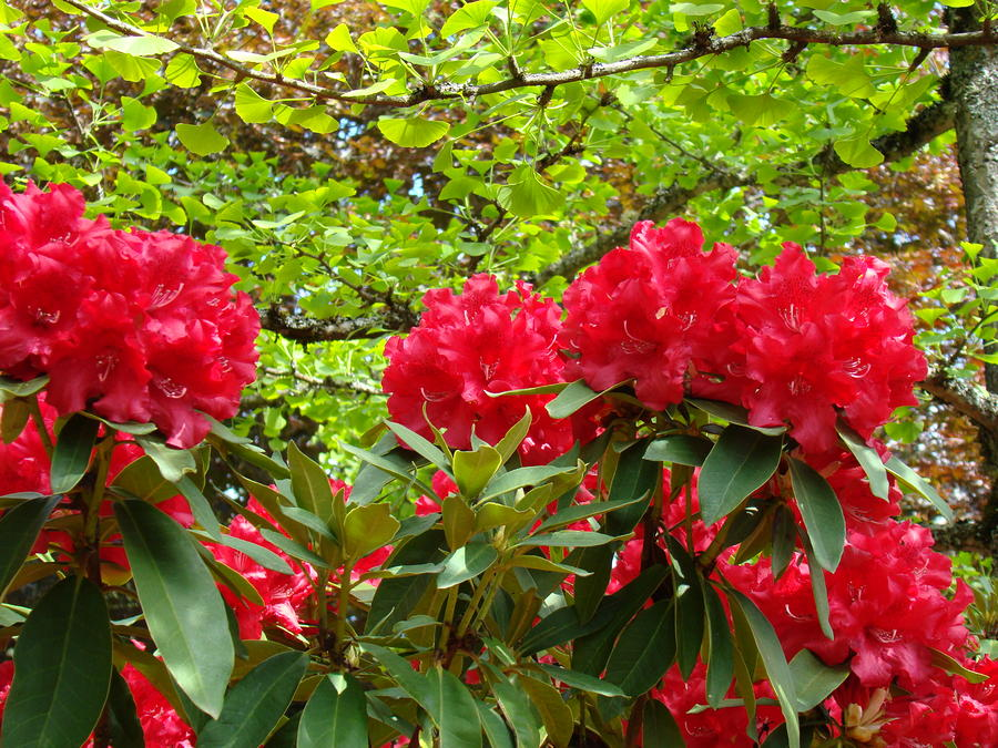 Botanical Garden Art Prints Red Rhodies Trees Baslee Troutman Photograph