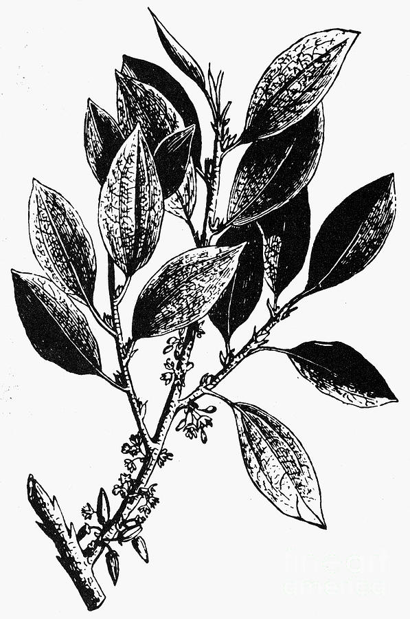 Botany: Coca Shrub Photograph
