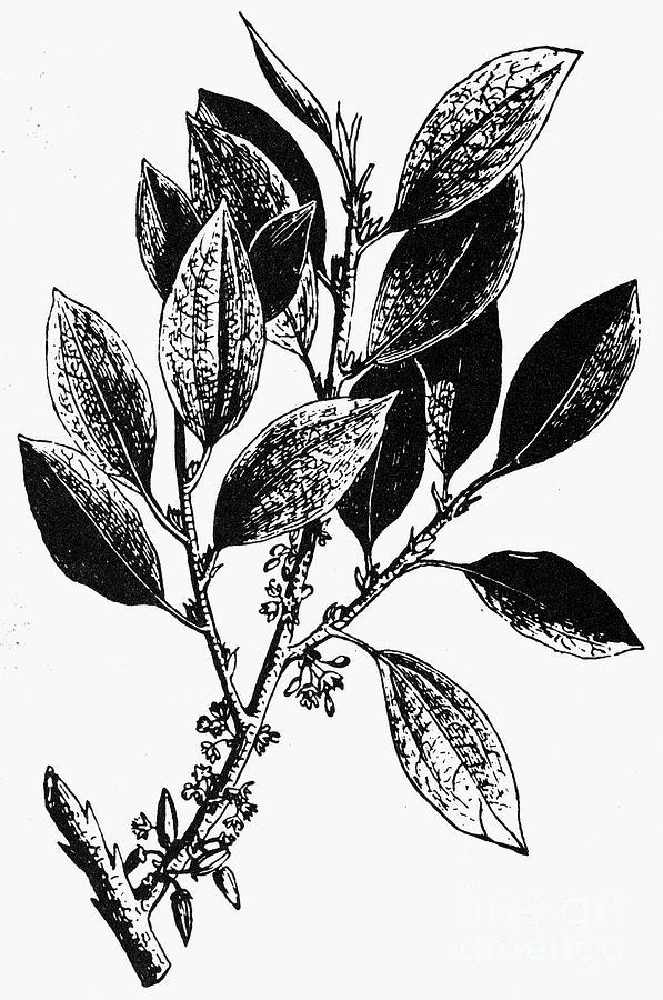 Biology Photograph - Botany: Coca Shrub by Granger