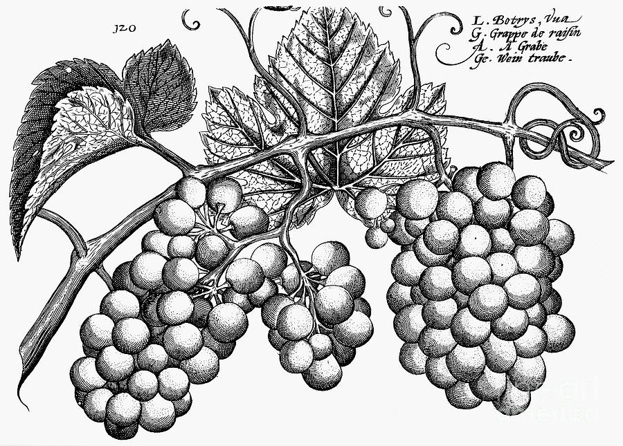 Botany: Grapes Photograph