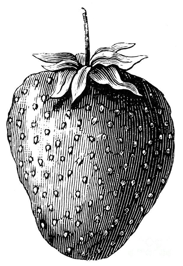 Botany: Strawberry Photograph