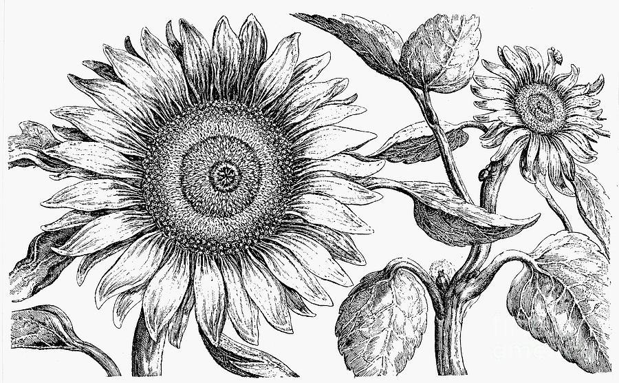 Biology Photograph - Botany: Sunflower by Granger