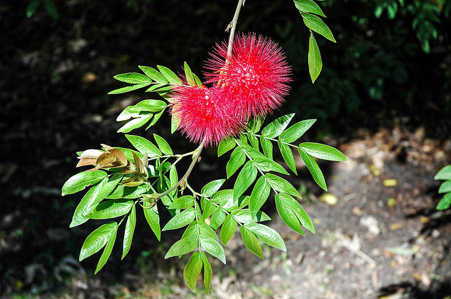Bottle Brush Photograph