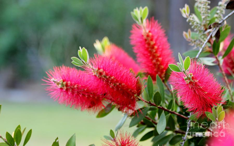 Bottle Brush Photograph  - Bottle Brush Fine Art Print