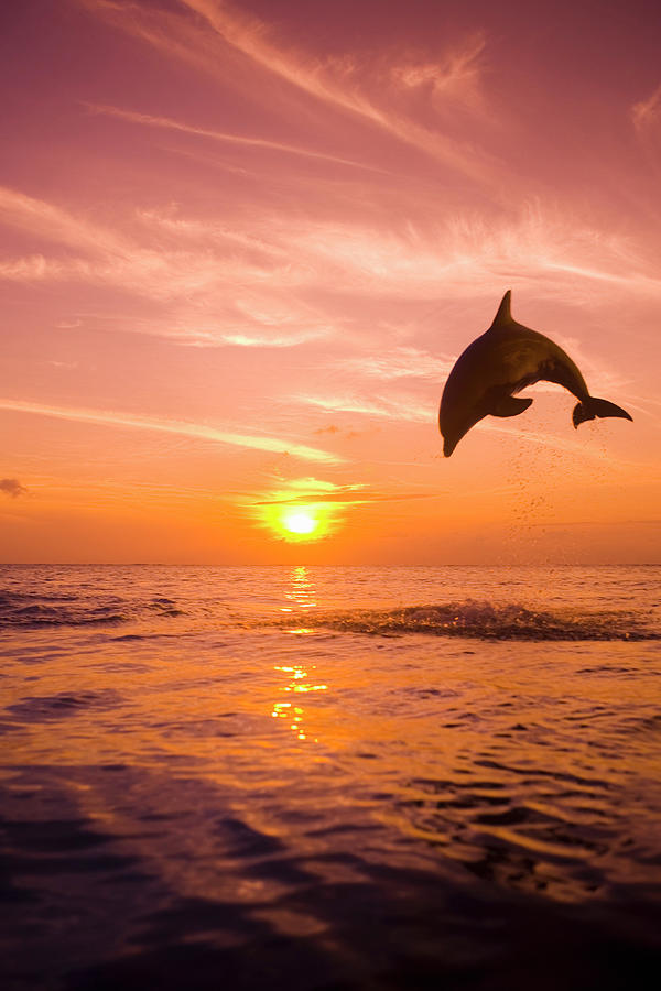 Bottlenose Dolphin (tursiops Truncatus) Jumping Out Of Water, Sunset Photograph  - Bottlenose Dolphin (tursiops Truncatus) Jumping Out Of Water, Sunset Fine Art Print