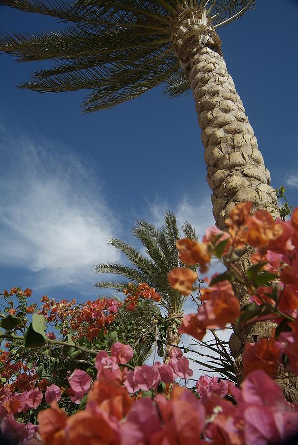 Bougainvillea Flowers Surround A Palm Photograph