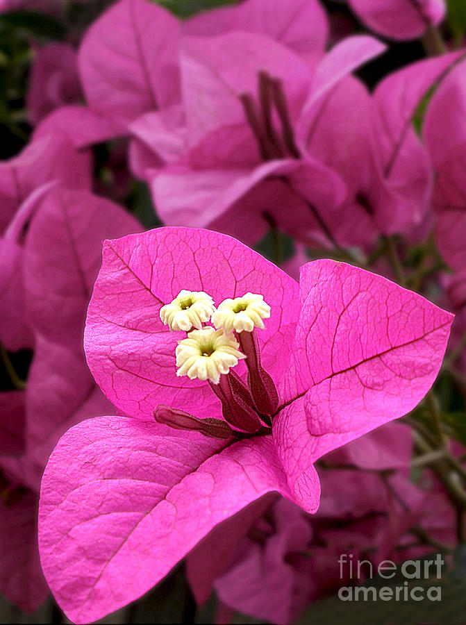 Bougainvillea In Hot Pink Photograph  - Bougainvillea In Hot Pink Fine Art Print