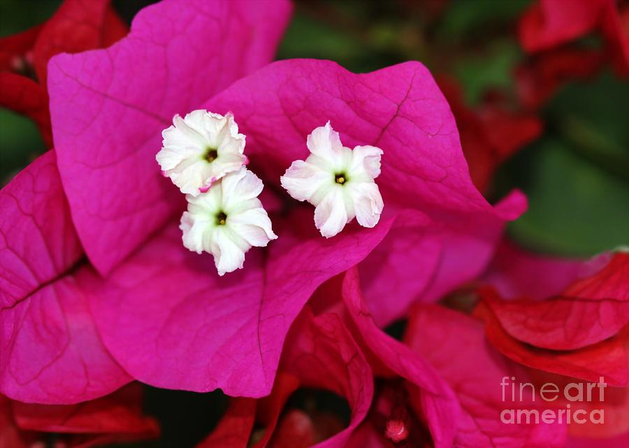 Bouganvillea Photograph