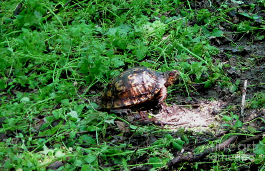 Turtle Photograph - Box Turtle  by The Kepharts