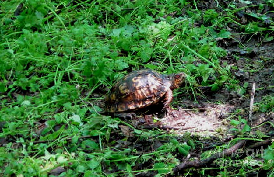 Box Turtle  Photograph
