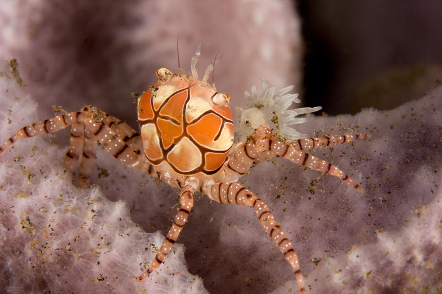 Boxer Crab On Sponge Lybia Tesselata Photograph