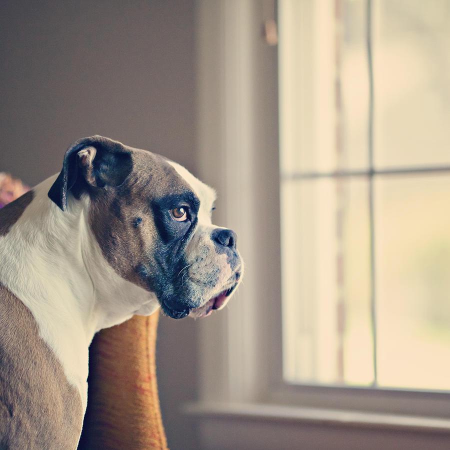 Boxer Dog Photograph