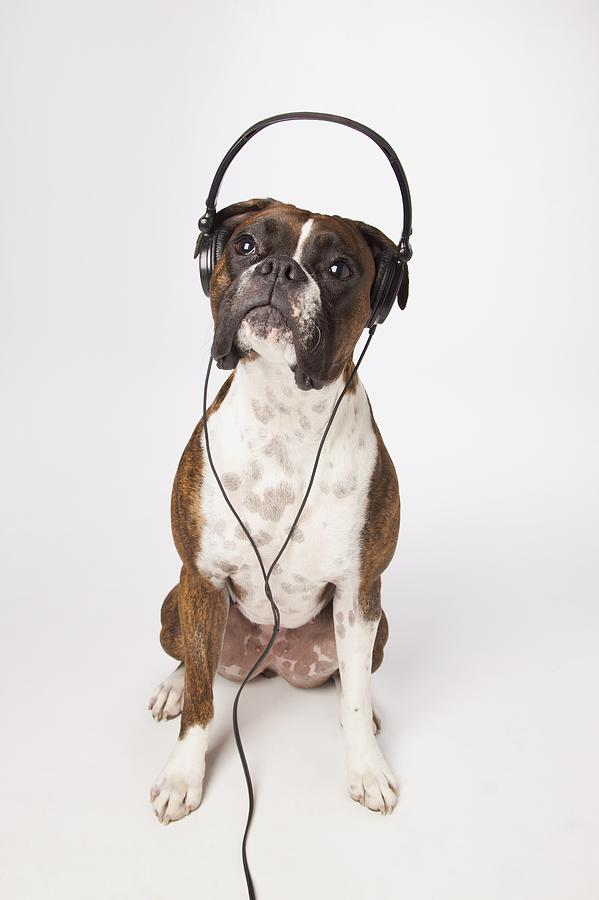 Boxer Dog With Headphones Photograph