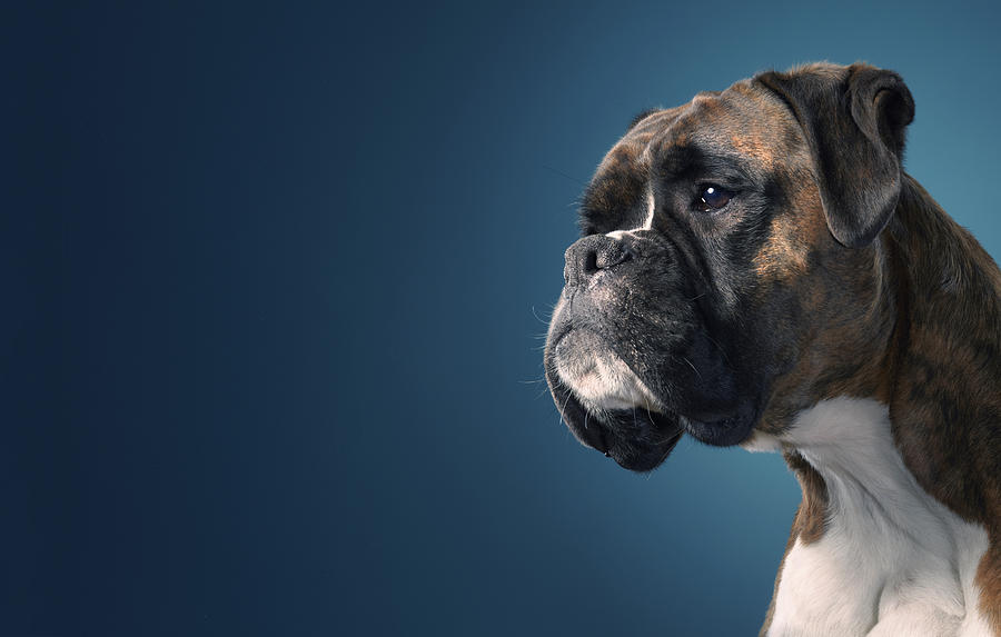 Boxer Profile Photograph  - Boxer Profile Fine Art Print