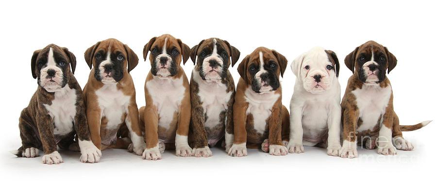 Boxer Puppies Photograph