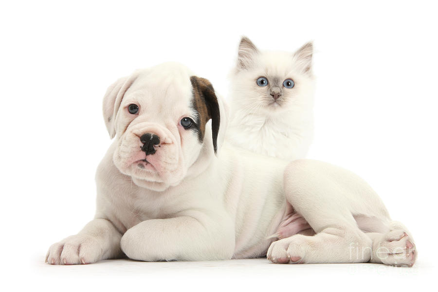 Boxer Puppy And Blue-point Kitten Photograph