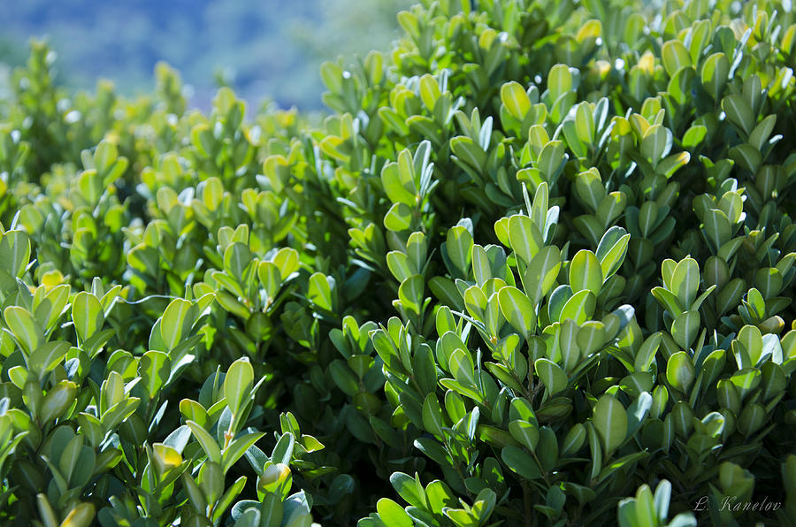 Boxwood Photograph  - Boxwood Fine Art Print