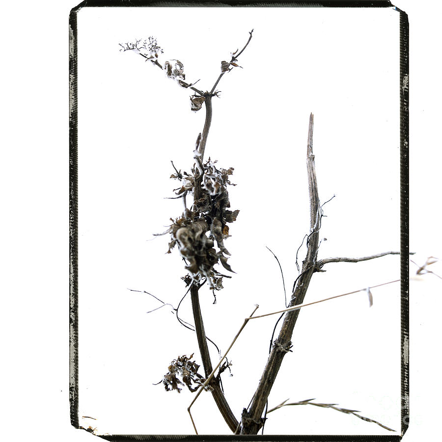 Branch Of Dried Out Flowers. Photograph