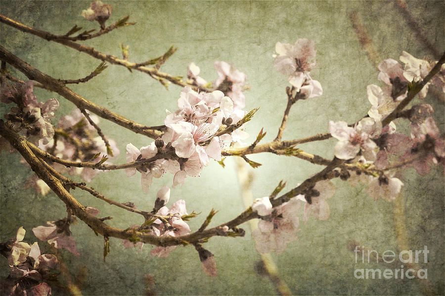 Branches Bloom Photograph  - Branches Bloom Fine Art Print