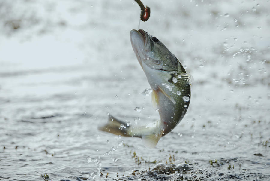 Large Mouth Bass Photograph - Breaking Water by Kelly Rader