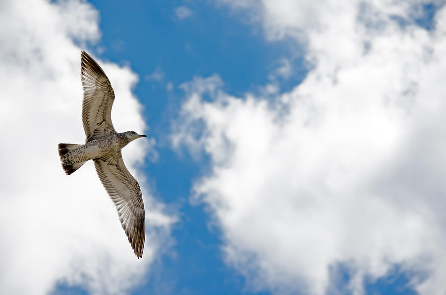 Seagull Photograph - Bright Gull by Kelly Anderson