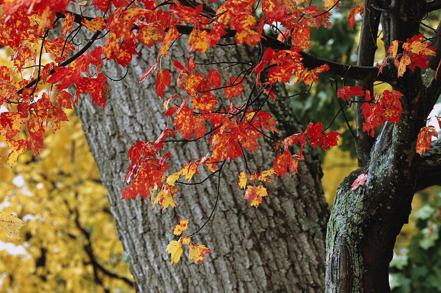 Bright Red Maple Leaves Against An Oak Photograph  - Bright Red Maple Leaves Against An Oak Fine Art Print