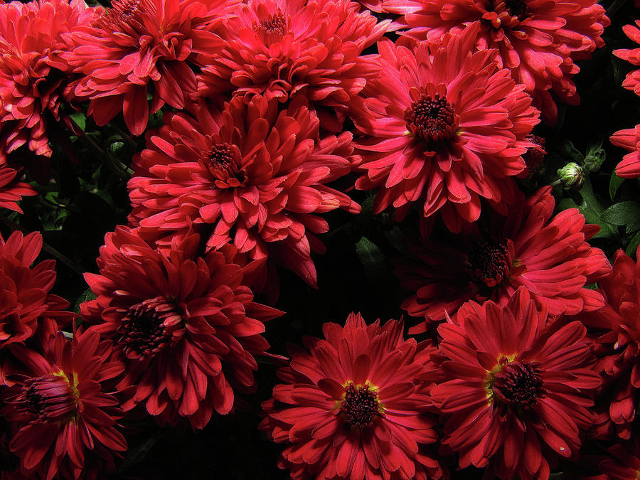Bright Red Mums Photograph  - Bright Red Mums Fine Art Print