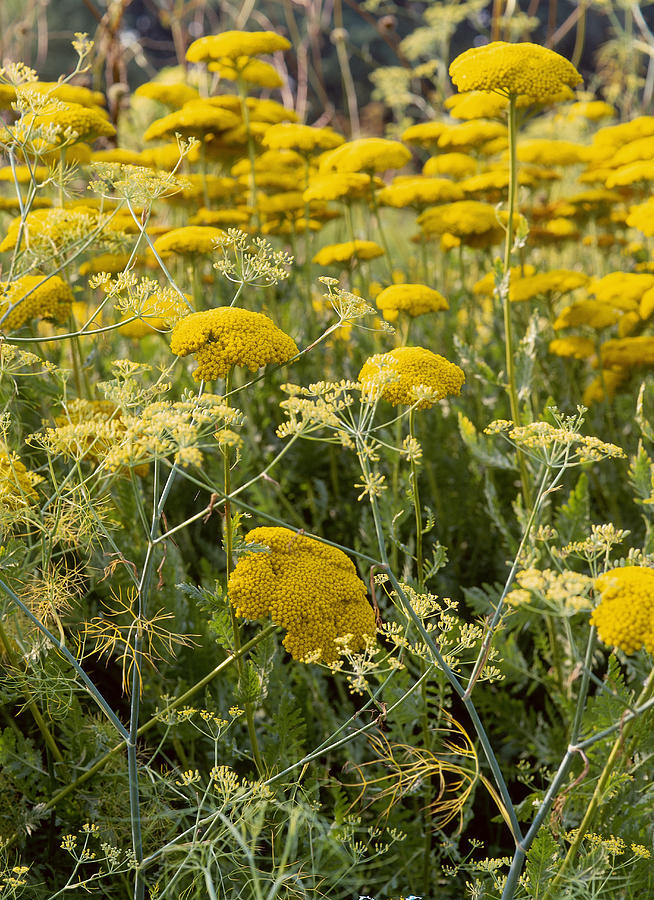 Bright Yellow Flowerheads Of Achillea Filipendulina Gold Plate ...