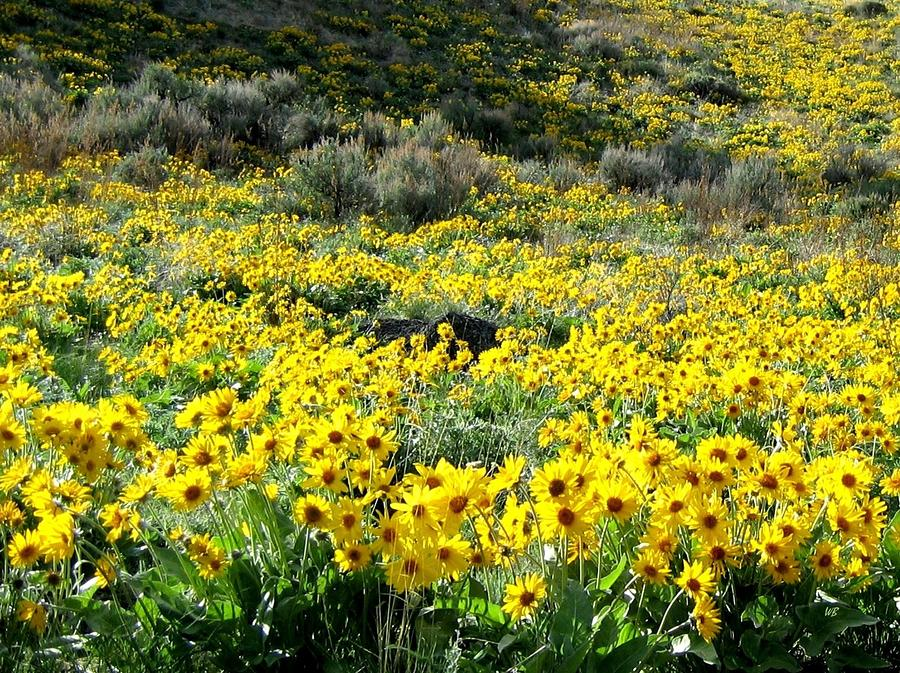 brilliant-wild-sunflowers-will-borden.jp