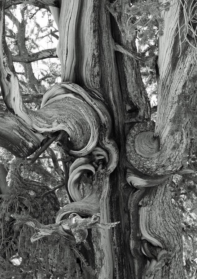 Bristlecone Pine Detail Photograph