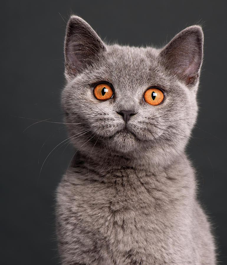 british-shorthair-kitten-3-months-old-li
