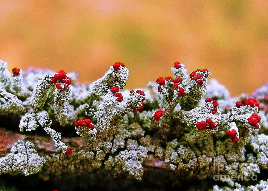British Soldier Lichen Photograph