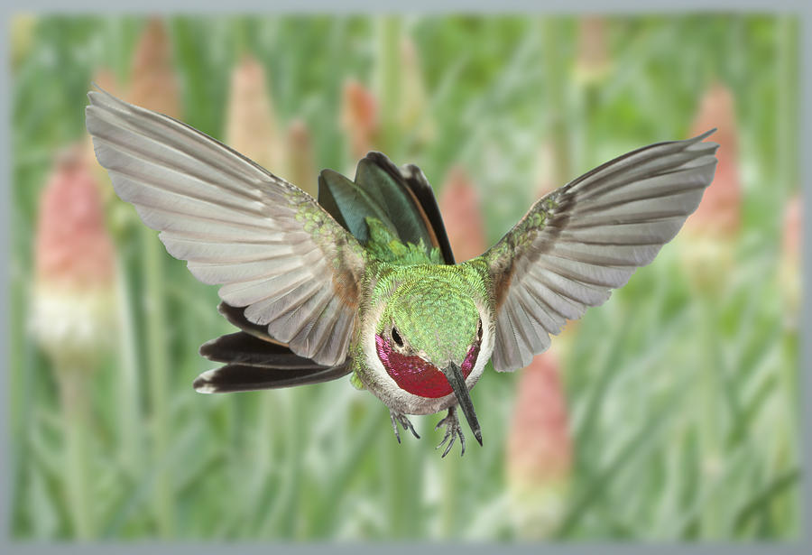 Broadtail Hummingbird Male And Red Hot Poker Photograph