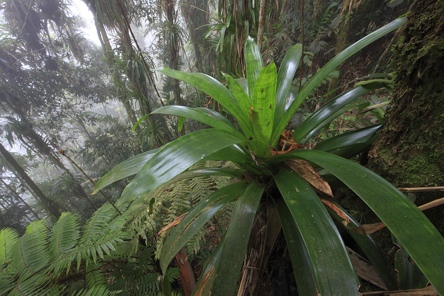 Bromeliad And Tree Ferns Colombia Photograph  - Bromeliad And Tree Ferns Colombia Fine Art Print