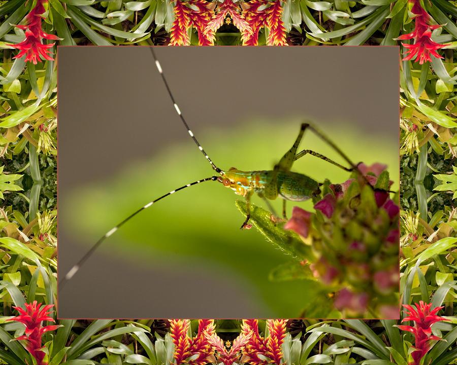 Bromeliad Grasshopper Photograph