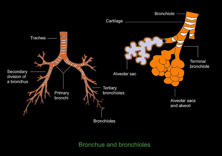 Bronchiole - Wikipedia