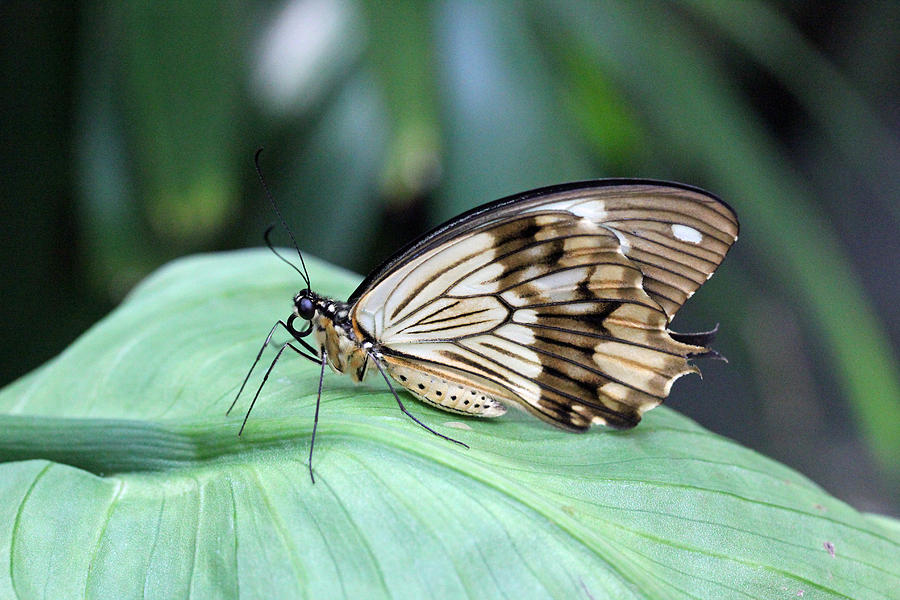 Brown And White Butterfly On Leaf Photograph