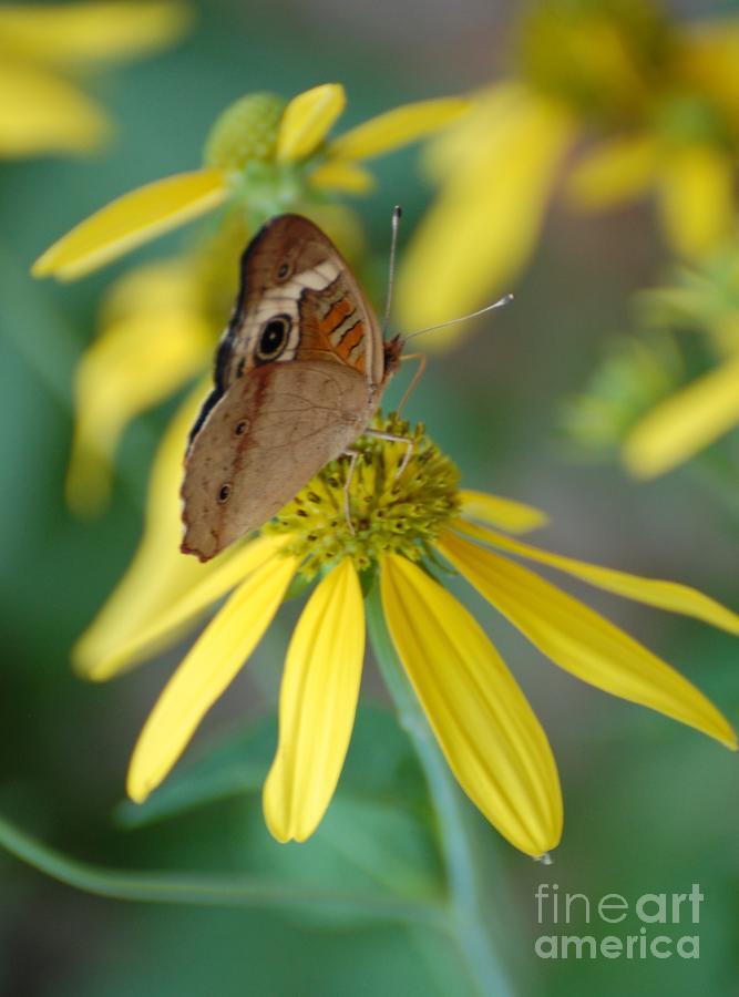 Brown Butterfly Photograph