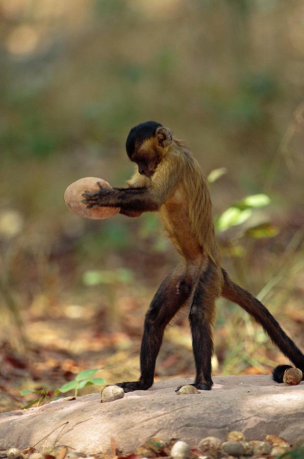 Un mono cai usa dos piedras para romper una semilla, una como yunque y la otra como un martillo.