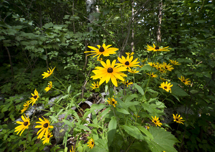 Brown-eyed Susan In The Woods Photograph