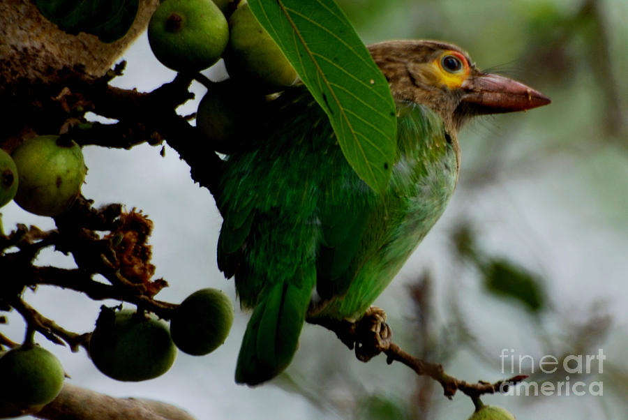 Brown-headed Barbet Photograph  - Brown-headed Barbet Fine Art Print
