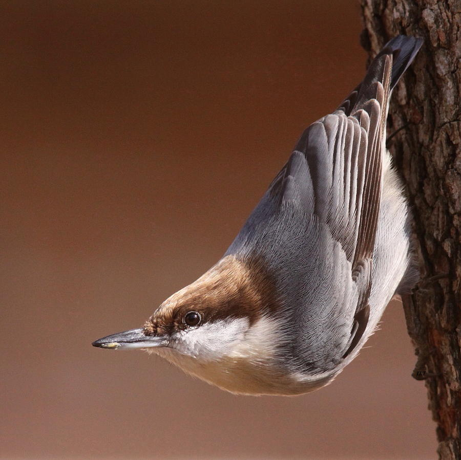 Brown-headed Nuthatch - Little Nutty Photograph