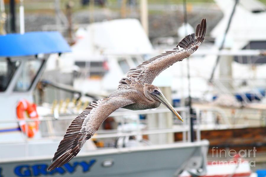 Brown Pelican . 7d8228 Photograph