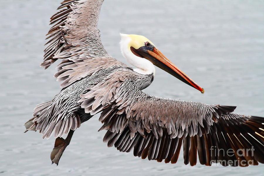 Brown Pelican . 7d8234 Photograph